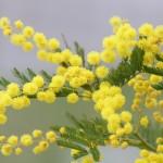 mimosa-2970960_960_720